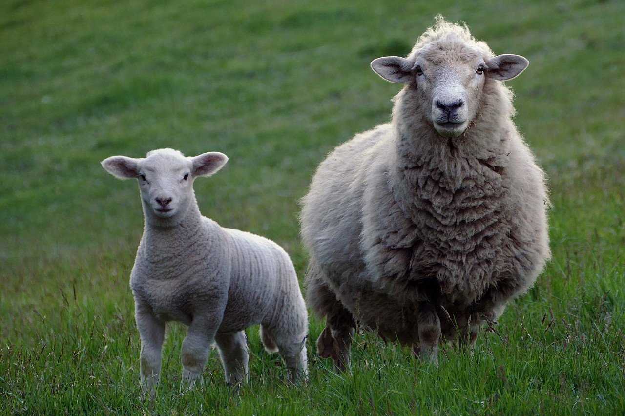 Sheep farming in the South West