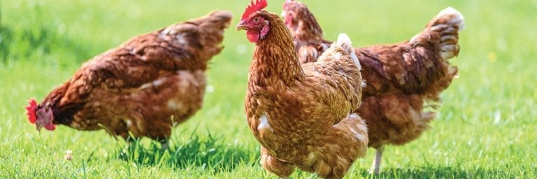 Read more about the article Egg Peritonitis