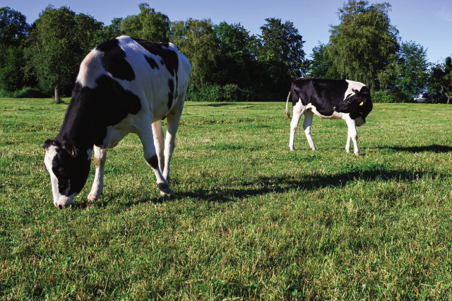 Is Dairy Beef Robbing the profit from your Dairy farm?