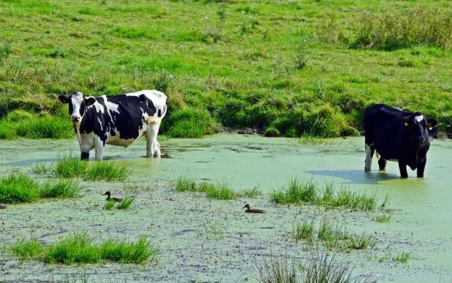 Read more about the article Why do cows prefer to be cool?