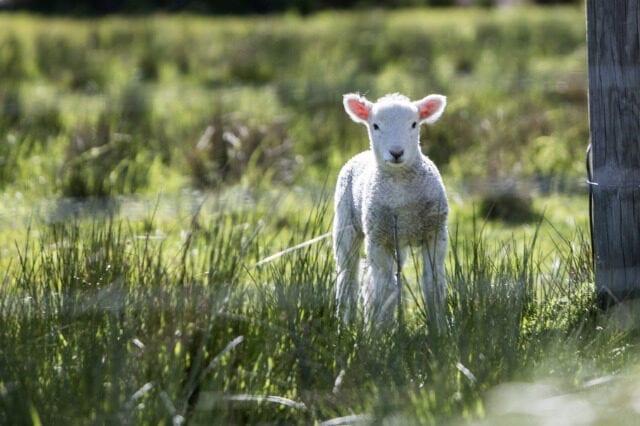 Feeding Ewes post lambing